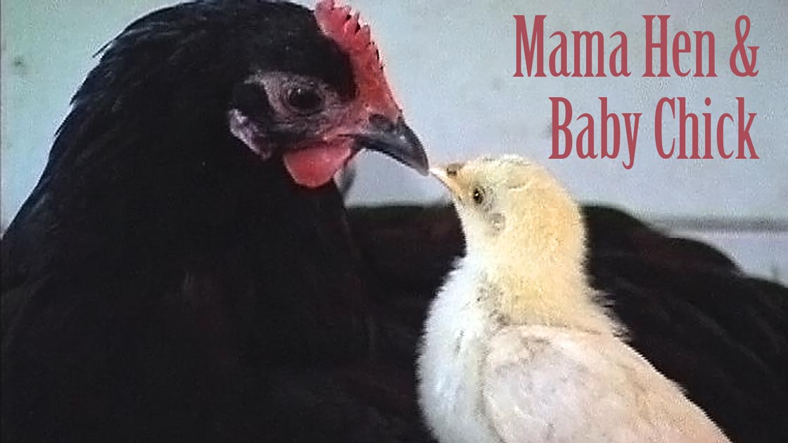 Mama Hen & Baby Chick - touching scene from Peaceable Kingdom