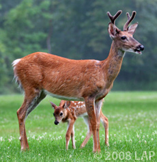 Cayuga Heights deer