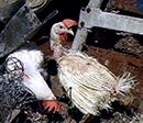 rescued hen